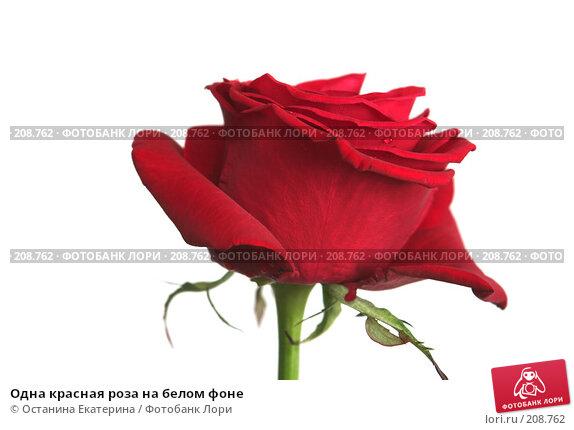Одна красная роза на белом фоне, фото № 208762, снято 15 января 2008 г. (c) Останина Екатерина / Фотобанк Лори