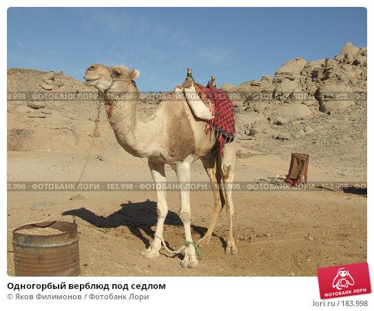 Одногорбый верблюд под седлом, фото № 183998, снято 13 января 2008 г. (c) Яков Филимонов / Фотобанк Лори