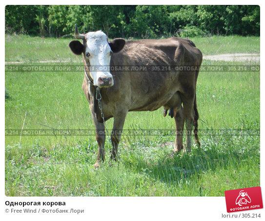 Однорогая корова, эксклюзивное фото № 305214, снято 31 августа 2007 г. (c) Free Wind / Фотобанк Лори