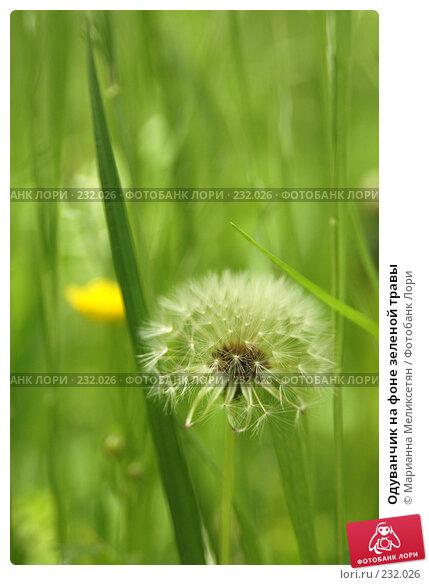 Одуванчик на фоне зеленой травы, фото № 232026, снято 26 мая 2007 г. (c) Марианна Меликсетян / Фотобанк Лори