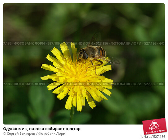 Одуванчик, пчелка собирает нектар. Стоковое фото, фотограф Сергей Бехтерев / Фотобанк Лори