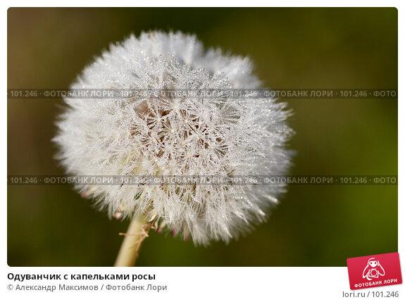 Купить «Одуванчик с капельками росы», фото № 101246, снято 23 сентября 2006 г. (c) Александр Максимов / Фотобанк Лори