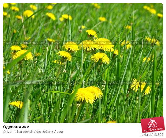 Одуванчики, фото № 13502, снято 4 июня 2006 г. (c) Ivan I. Karpovich / Фотобанк Лори