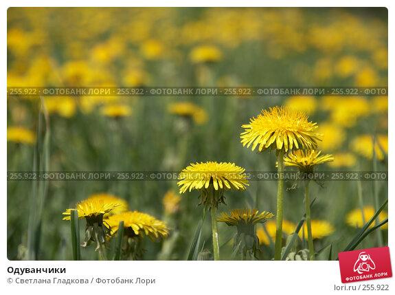 Одуванчики, фото № 255922, снято 19 мая 2007 г. (c) Cветлана Гладкова / Фотобанк Лори