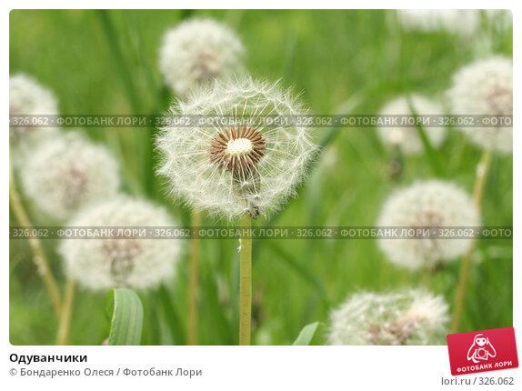 Купить «Одуванчики», фото № 326062, снято 16 июня 2008 г. (c) Бондаренко Олеся / Фотобанк Лори