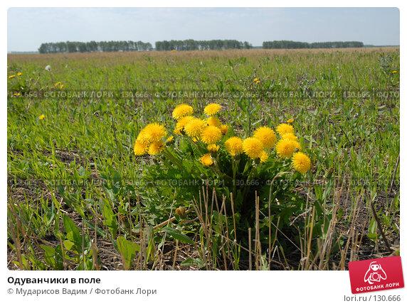 Одуванчики в поле, фото № 130666, снято 25 октября 2016 г. (c) Мударисов Вадим / Фотобанк Лори
