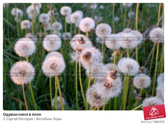 Одуванчики в поле, фото № 144910, снято 31 мая 2007 г. (c) Сергей Пестерев / Фотобанк Лори