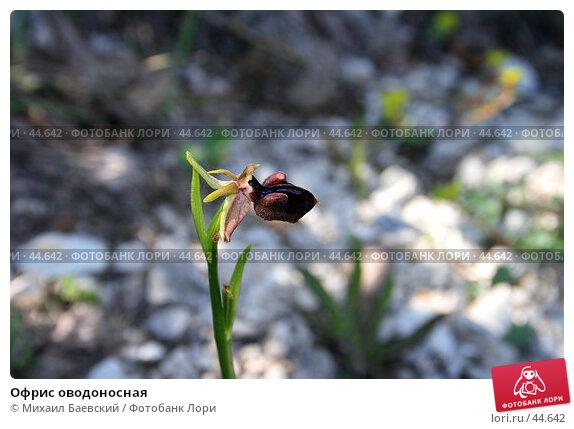 Купить «Офрис оводоносная», фото № 44642, снято 13 мая 2007 г. (c) Михаил Баевский / Фотобанк Лори