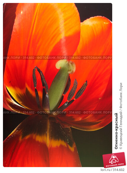 Купить «Огненно-красный», фото № 314602, снято 9 мая 2005 г. (c) Кравецкий Геннадий / Фотобанк Лори
