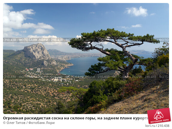 Огромная раскидистая сосна на склоне горы, на заднем плане курортный поселок Новый Свет (Крым), фото № 210438, снято 26 сентября 2007 г. (c) Олег Титов / Фотобанк Лори