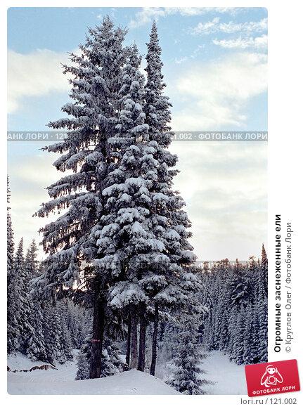 Огромные заснеженные ели, фото № 121002, снято 9 декабря 2016 г. (c) Круглов Олег / Фотобанк Лори