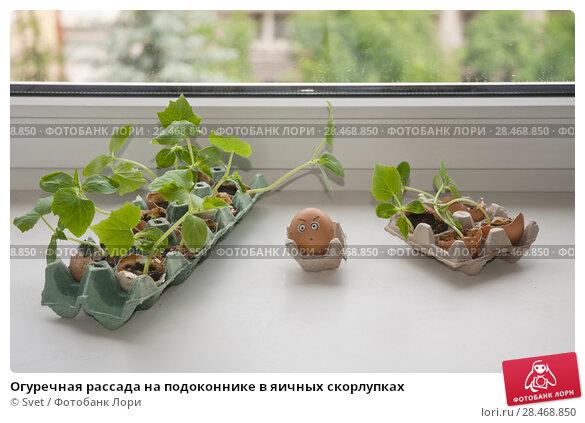 Купить «Огуречная рассада на подоконнике в яичных скорлупках», эксклюзивное фото № 28468850, снято 18 июля 2019 г. (c) Svet / Фотобанк Лори
