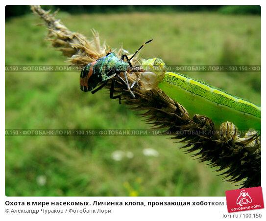 Охота в мире насекомых. Личинка клопа, пронзающая хоботком неосторожную гусеницу, фото № 100150, снято 17 августа 2005 г. (c) Александр Чураков / Фотобанк Лори