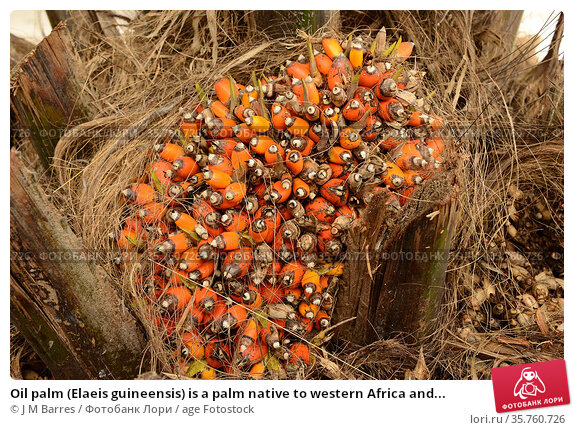 Oil palm (Elaeis guineensis) is a palm native to western Africa and... Стоковое фото, фотограф J M Barres / age Fotostock / Фотобанк Лори