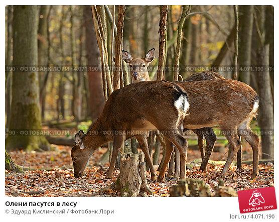 Купить «Олени пасутся в лесу», фото № 4071190, снято 4 ноября 2012 г. (c) Эдуард Кислинский / Фотобанк Лори