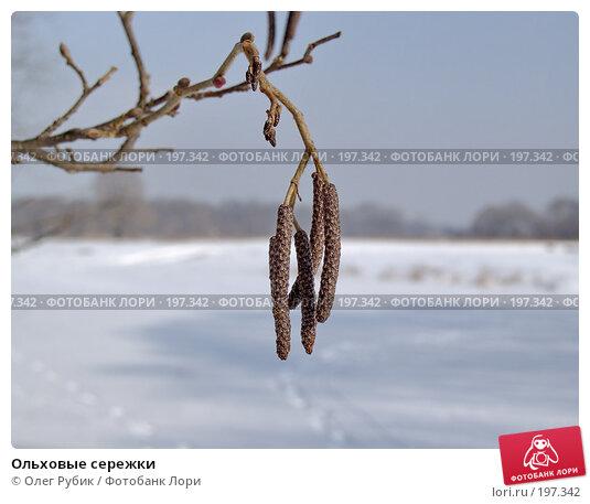 Ольховые сережки, фото № 197342, снято 5 февраля 2008 г. (c) Олег Рубик / Фотобанк Лори