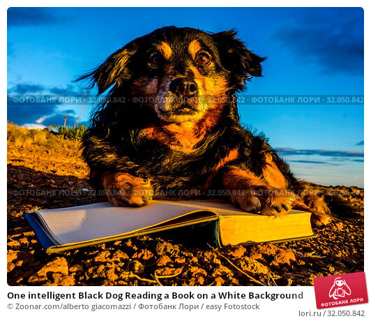 One intelligent Black Dog Reading a Book on a White Background. Стоковое фото, фотограф Zoonar.com/alberto giacomazzi / easy Fotostock / Фотобанк Лори