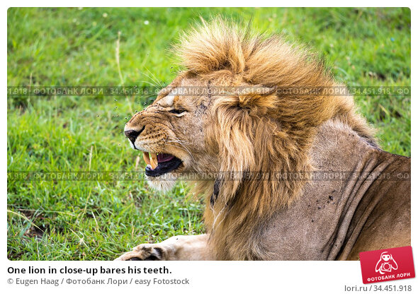 One lion in close-up bares his teeth. Стоковое фото, фотограф Eugen Haag / easy Fotostock / Фотобанк Лори
