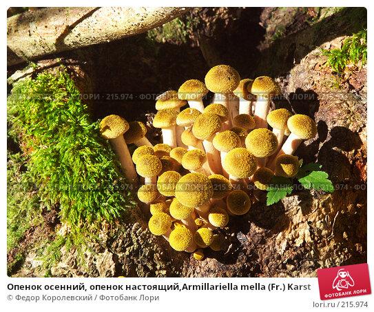Опенок осенний, опенок настоящий,Armillariella mella (Fr.) Karst, фото № 215974, снято 2 октября 2004 г. (c) Федор Королевский / Фотобанк Лори