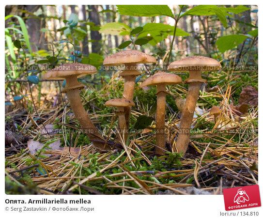 Опята. Armillariella mellea, фото № 134810, снято 16 сентября 2004 г. (c) Serg Zastavkin / Фотобанк Лори