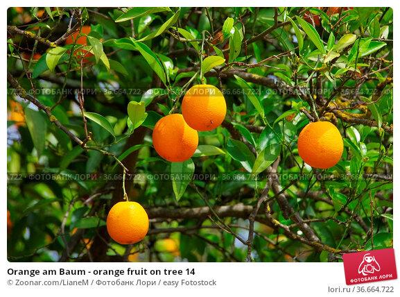 Orange am Baum - orange fruit on tree 14. Стоковое фото, фотограф Zoonar.com/LianeM / easy Fotostock / Фотобанк Лори