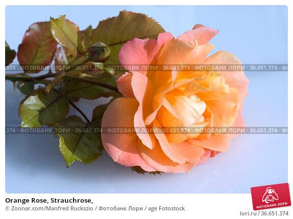 Orange Rose, Strauchrose, Стоковое фото, фотограф Zoonar.com/Manfred Ruckszio / age Fotostock / Фотобанк Лори