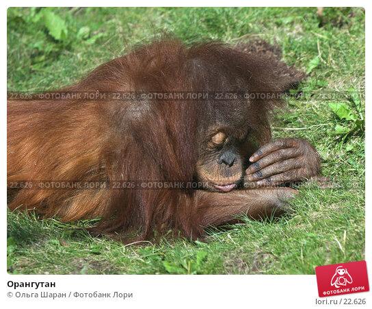 Орангутан, фото № 22626, снято 25 июля 2006 г. (c) Ольга Шаран / Фотобанк Лори