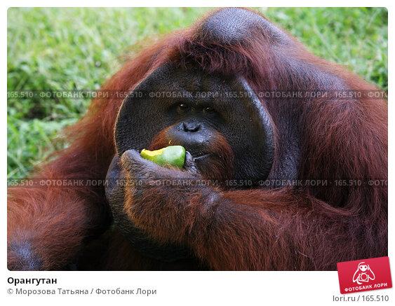Орангутан, фото № 165510, снято 23 октября 2007 г. (c) Морозова Татьяна / Фотобанк Лори
