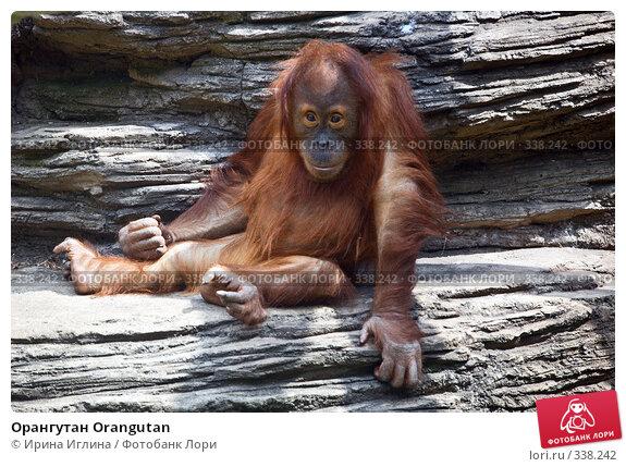 Орангутан Orangutan, фото № 338242, снято 21 июня 2008 г. (c) Ирина Иглина / Фотобанк Лори
