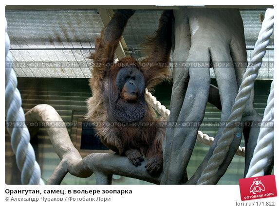 Орангутан, самец, в вольере зоопарка, фото № 171822, снято 1 января 2008 г. (c) Александр Чураков / Фотобанк Лори