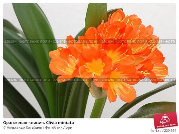Оранжевая кливия. Clivia miniata, фото № 220694, снято 8 марта 2008 г. (c) Александр Катайцев / Фотобанк Лори