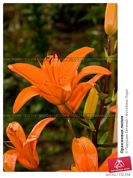 Оранжевая лилия, фото № 172318, снято 19 августа 2017 г. (c) Парушин Евгений / Фотобанк Лори