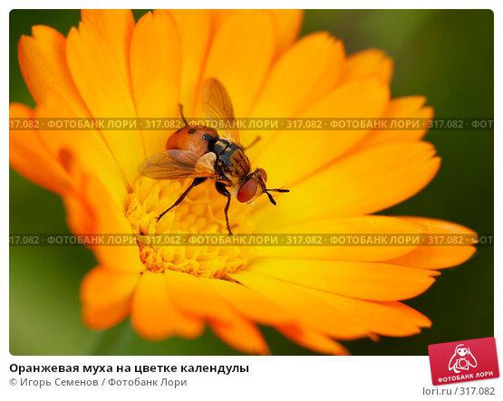 Оранжевая муха на цветке календулы, фото № 317082, снято 21 июля 2007 г. (c) Игорь Семенов / Фотобанк Лори