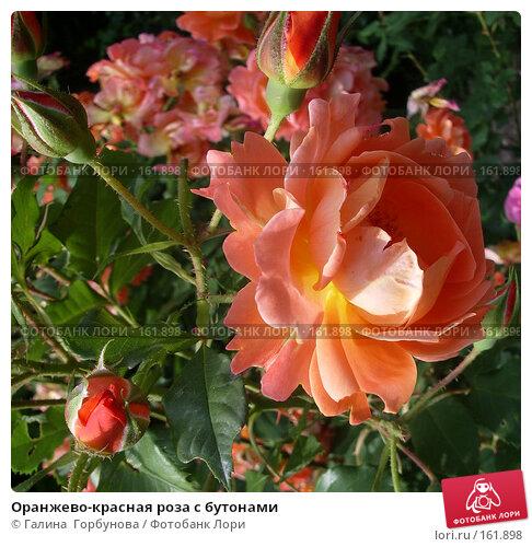 Купить «Оранжево-красная роза с бутонами», фото № 161898, снято 20 апреля 2018 г. (c) Галина  Горбунова / Фотобанк Лори