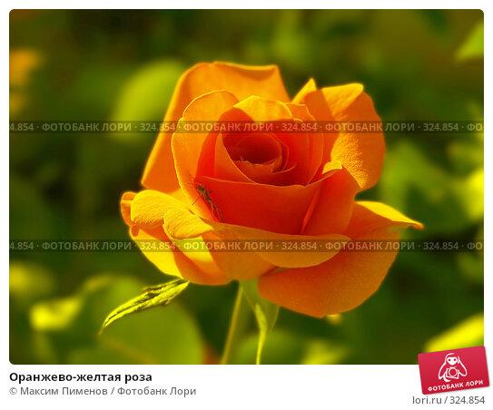 Купить «Оранжево-желтая роза», фото № 324854, снято 28 июня 2006 г. (c) Максим Пименов / Фотобанк Лори