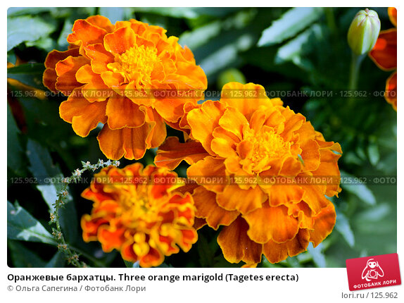 Оранжевые бархатцы. Three orange marigold (Tagetes erecta), фото № 125962, снято 15 августа 2007 г. (c) Ольга Сапегина / Фотобанк Лори