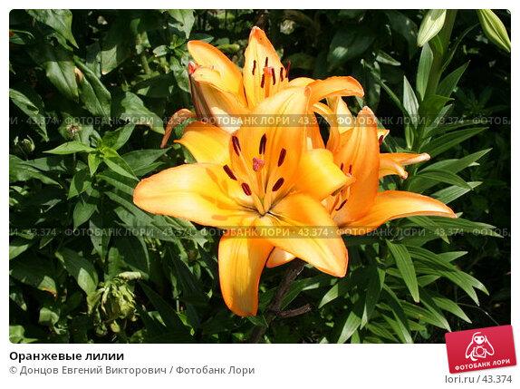 Оранжевые лилии, фото № 43374, снято 23 июля 2006 г. (c) Донцов Евгений Викторович / Фотобанк Лори