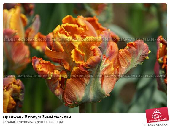Оранжевый попугайный тюльпан, эксклюзивное фото № 318486, снято 8 апреля 2008 г. (c) Natalia Nemtseva / Фотобанк Лори