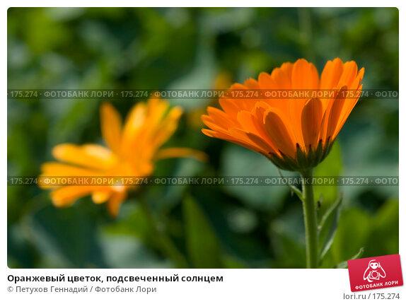 Оранжевый цветок, подсвеченный солнцем, фото № 175274, снято 25 июня 2007 г. (c) Петухов Геннадий / Фотобанк Лори