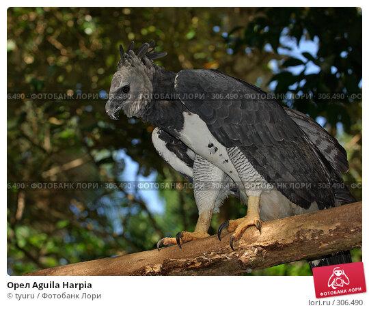 Орел Aguila Harpia, фото № 306490, снято 10 декабря 2016 г. (c) tyuru / Фотобанк Лори