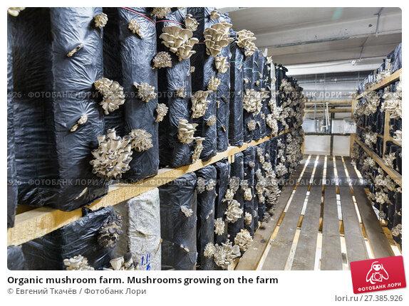 Купить «Organic mushroom farm. Mushrooms growing on the farm», фото № 27385926, снято 15 декабря 2016 г. (c) Евгений Ткачёв / Фотобанк Лори