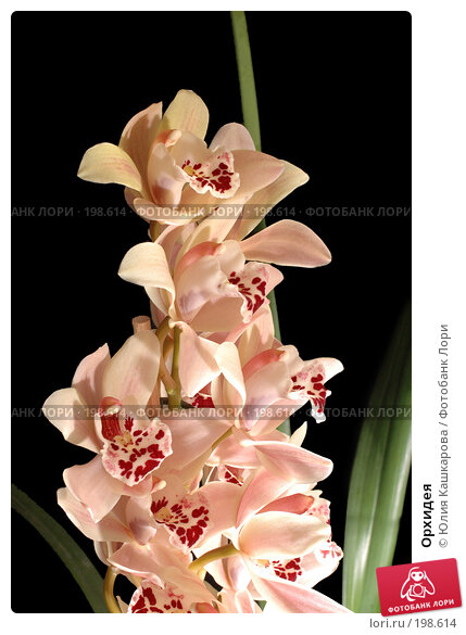 Орхидея, фото № 198614, снято 30 января 2008 г. (c) Юлия Кашкарова / Фотобанк Лори