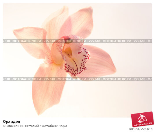 Купить «Орхидея», фото № 225618, снято 21 апреля 2018 г. (c) Иванюшин Виталий / Фотобанк Лори
