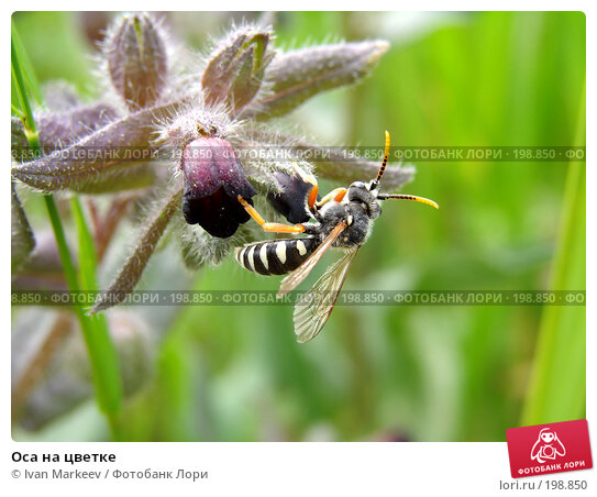 Купить «Оса на цветке», фото № 198850, снято 16 июня 2007 г. (c) Ivan Markeev / Фотобанк Лори