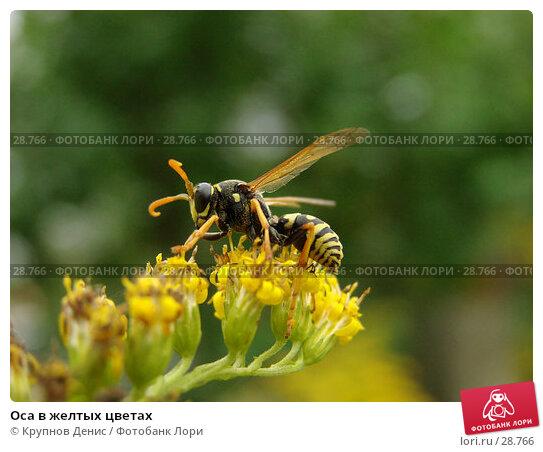Оса в желтых цветах, фото № 28766, снято 3 сентября 2006 г. (c) Крупнов Денис / Фотобанк Лори