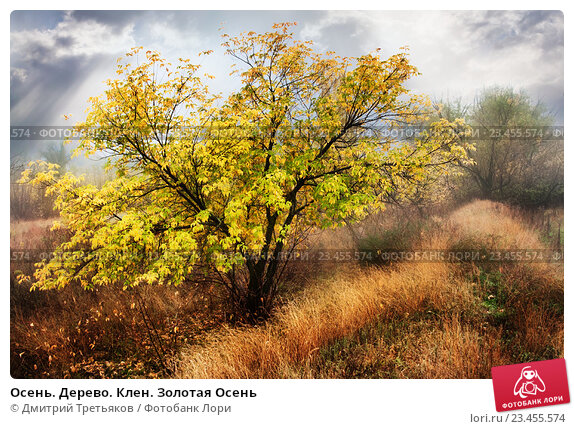 Купить «Осень. Дерево. Клен. Золотая Осень», фото № 23455574, снято 21 марта 2019 г. (c) Дмитрий Третьяков / Фотобанк Лори