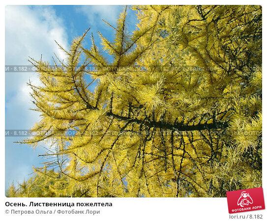 Купить «Осень. Лиственница пожелтела», фото № 8182, снято 20 октября 2005 г. (c) Петрова Ольга / Фотобанк Лори