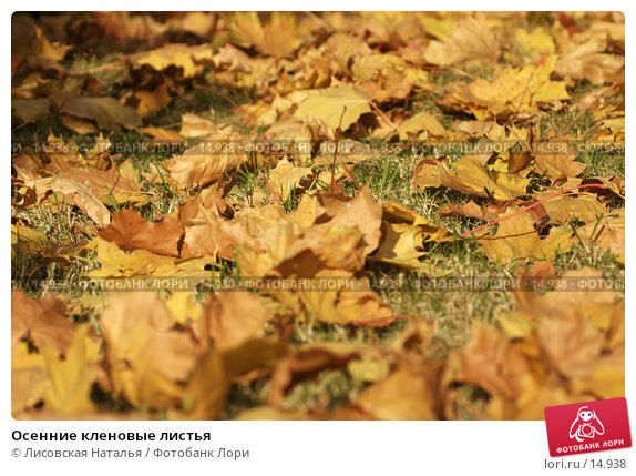Купить «Осенние кленовые листья», фото № 14938, снято 2 октября 2005 г. (c) Лисовская Наталья / Фотобанк Лори