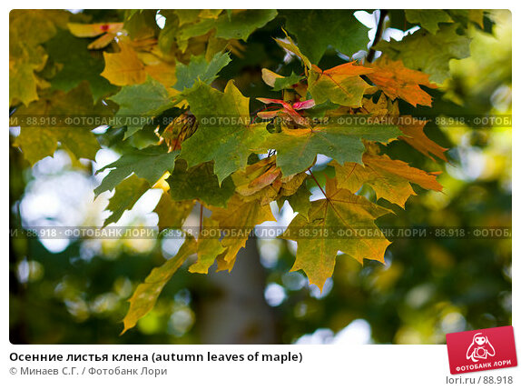 Купить «Осенние листья клена (autumn leaves of maple)», фото № 88918, снято 22 сентября 2007 г. (c) Минаев С.Г. / Фотобанк Лори
