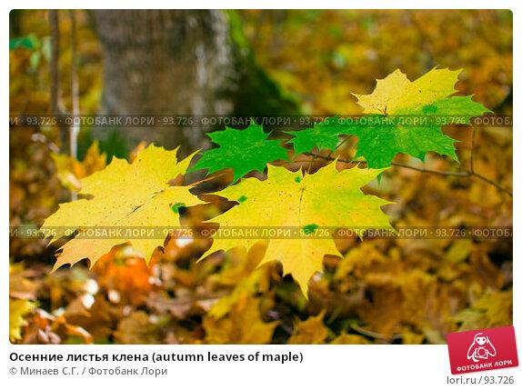 Осенние листья клена (autumn leaves of maple), фото № 93726, снято 30 сентября 2007 г. (c) Минаев С.Г. / Фотобанк Лори